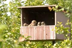 DSC_9780 Torenvalk : Faucon crecerelle : Falco tinnunculus : Turmfalke : Common Kestrel