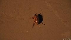 "Junikäfer (veskoonekrajnc) Tags: camera new canon tiere nice pflanzen stadt newcamera newcam käfer zeug scarabaeidae gerippte neuekamera blatthornkäfer 750d brachkäfer canon750d trivialname ""junikäfergattungenamphimallonundrhizotroguswiezumbeispielmarginipesgartenlaubkäferphylloperthahorticolamarienkäferjunikäferwikipedia"