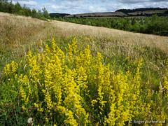 Lady's Bedstraw (Roger B.) Tags: unitedkingdom grassland barnsley southyorkshire gbr lws ladysbedstraw galiumverum localwildlifesite barrowcollierylws