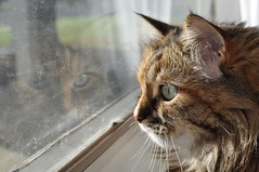 Hattie on guard (Blandrea) Tags: pet reflection animal cat siberian hattie dirtywindow