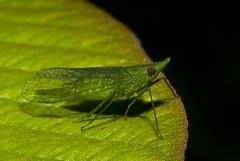 Cigarrinha (Dictyopharidae) b (Enio Branco) Tags: nature rainforest wildlife natureza bugs macrophotography mataatlântica macromundo artropods sosmataatlântica macromaniaanimalgroup
