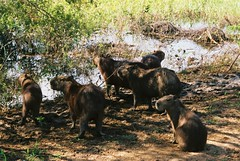 Capibara, Pantanal, Brazil