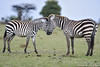 Love (color) (David Perez Lopez) Tags: cebracomún equusquagga commonzebra kenia mara áfrica nikon d4s 200400vrii