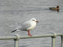See Me, Caledonian Canal, Inverness, Dec 2016, Explored (allanmaciver) Tags: gull wathing waiting resting posing passing by red feet white grey water caledonian canal inveness muirtown clachnaharry walk scotland allanmaciver