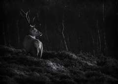 The Stag (Vemsteroo) Tags: stag deer antlers majestic animal wild beautiful peakdistrict morning sunrise hopevalley surpriseview hatharsage monochrome blackandwhite forest trees dramatic stark heahthland fujifilm fuji xt2 50140mm 28 january winter outdoors cold