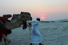 Camels in the desert (alefunkdro) Tags: camels camellos sunset puestadesol desierto desert doha catar qatar nature