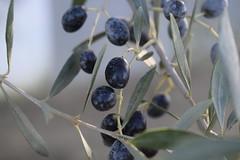 Viejos olivos sedientos bajo el claro sol del día, olivares polvorientos del campo de Andalucía (Sandra Tiemblo) Tags: nikon huelva almonte d3300 campo oliva aceituna olivo olive