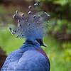 Goura (Oric1) Tags: 22 canon côtesdarmor france tamron tregomeur armorique breizh bretagne brittany eos oiseau pigeon zoo zooparc tamronsp150600mmf563divcusd oric1 jeanlucmolle