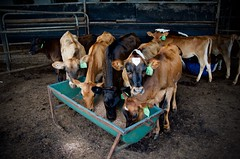 Dairy Cows, Pyree, Southern NSW (thomasdwyer) Tags: cows dairy dairycows farm farming paddock shed feed feeding calfs nikon d5100 southernnsw nsw australia summer morning milk