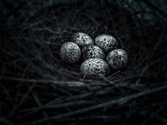 Little Eggs (WR Takiguchi) Tags: blackandwhite brazil bokeh nest monochromatic nature eggs mood ambientlight amateur light life contrast small work imagination nostalgia photography daylight dream joy look natureza countryside vibrant branches birds botanic