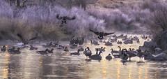 Geese (3dRabbit) Tags: goose geese lake denver co bird animal birds sungjinahn morning mist cold winter january 2017 fly light nature outdoor