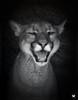 DPP_0027 (ELAINE'S PHOTOGRAPHS) Tags: cougars panther floridapanther catamount pumas puma mountainlion cats felines nature wildlife animals