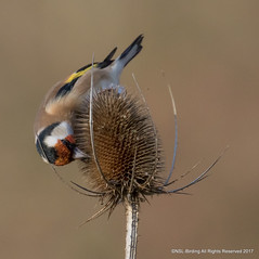 Goldfinch on teasle (snapp3r) Tags: