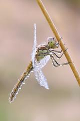 Morgentau (rudolfaurnhammer) Tags: natur tiere insekten libellen heidelibellen gebänderteheidelibelle morgentau makro