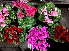 #Alpenveilchen #Cyclamen (RenateEurope) Tags: renateeurope 2017 iphoneography plants flowers flora alpenveilchen cyclamen awesomeblossoms