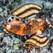 Twinspot Lionfish - Dendrochirus biocellatus