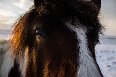 Viking_Horse (4) (Melissa Boodoo) Tags: horse viking traveling travel iceland snow ice fire volcano explore create shoot2kill icelandtravel neverstopexploring nature animals animal fur sunny sun morning early roadtrip roadstop natural life europe winter north northernlights chasing
