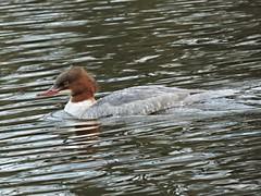 Goosander (deannewildsmith) Tags: earthnaturelife goosander fradleynaturecentre fradley duck