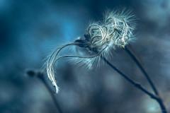 feather-edged (Simon[L]) Tags: feathery plant seeds oldmansbeard winter helios44 zenit m39 z39 curls curly curves kmz