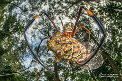 Golden orb weaver (Nephila pilipes) - DSC_9776 (nickybay) Tags: macro singapore jalansamkongsi nephilidae nephila pilipes cctv wideangle fisheye cicada cicadidae prey golden orb weaver spider