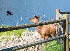 Elk vs. Red-winged Blackbird (Snap Man) Tags: colorado unitedstates evergreen elk redwingedblackbird 2015 jeffersoncounty evergreenlake nikond600 byklk