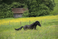 P1310979 (isi_lutzenberg) Tags: pferde pferd isi islandpferde