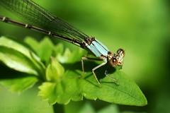 Blue-fronted Dancer Damselfly, Female (Shutter_Hand) Tags: usa naturaleza macro female insect dallas texas sony alpha damselfly libélula dallasarboretum insecto a99 bluefronteddancer lenscraft letnaturenurtureyou sonyaf100mmf28macro miguelmendozamuñoz sonyalphaa99 slta99