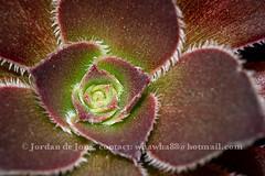 Aeonium arboreum.jpg (Jordan de Jong) Tags: plant succulent pattern purple aeonium irishrose aeoniumarboreum treeaeonium treehouseleek