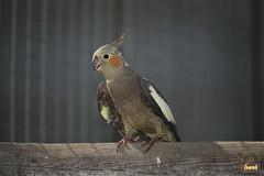 32. Cockatiel / Попугай Корелла
