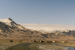Grazing *Explore 6/21/15* (gwendolyn.allsop) Tags: winter horses mountains field landscape iceland graze icelandicponies