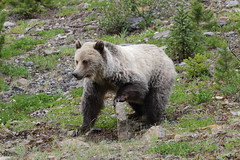 Grizzly Bear  8182 (robenglish64) Tags: grizzlybear