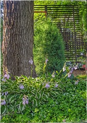 Evening in the garden after 3 days of rain (Ronald (Ron) Douglas Frazier) Tags: flowers tree backyard evergreen blooms hosta divider sweetgum lamium gardenscreen gardengardeningperennialsbackyardmidwestillinois