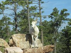 Bear Country, USA - Dall Sheep (IN EXPLORE) (SpeedyJR) Tags: southdakota explore bearcountryusa rapidcitysouthdakota rapidcitysd speedyjr ©2015janicerodriguez