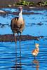 Sandhill Cranes with Chick (Mark Klotz) Tags: canada birds crane britishcolumbia wildlife burnaby sandhillcrane gruscanadensis burnabylake markklotz canadianwildlife burnabylakeregionalpark britishcolumbiawildlife sandhillcranechick sandhillcraneparents sandhillcraneswithchick