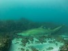 20150628-IMG_3861 (a_dam_taylor) Tags: fish shark underwater australia scuba newsouthwales 9mile tweedheads greynurseshark scubabuddiesbrisbane tweedseasports