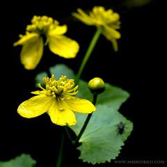 Kingcup (markus.kiili) Tags: flower kingcup