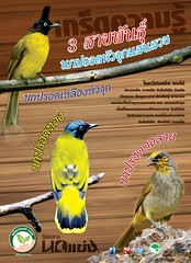 นกกรงหัวจุก 3 สายพันธุ์