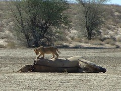 Lion cubs with eland, Kgalagadi NP