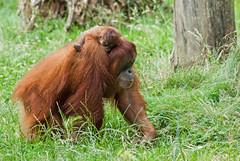 20150711_51 - Huckepack (grasso.gino) Tags: nature zoo monkey tiere nikon natur orangutan ape dortmund affe anmals d3000