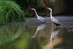 COUPLE DE HERONS (jmsatto) Tags: couple parc étang essonne hérons