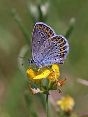Silver-studded Blue (chaz jackson) Tags: blue butterfly insect hungary lycaenidae plebejusargus silverstuddedblue lator
