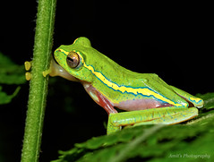 """""""This looks like a good branch to climb"""" :) (Amit Rai Chowdhury) Tags: forest wildlife frog frogs wayanad canon100mm rhacophoridae canon7d canon100mmf28lis wingedglidingfrog"""