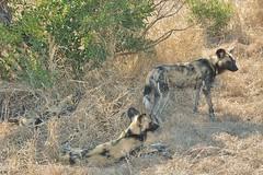 Where's Waldo?  African Wild Hunting dogs demonstrate great camouflage (Sabi Sands) (stevelamb007) Tags: africa dog nature southafrica mammal nikon afrika predator krugernationalpark mpumalanga africanpainteddog 18200mm d90 africanhuntingdog sabisands sabiepark stevelamb wildhuntingdog