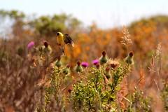 Light (Jane Inman Stormer) Tags: california flower bird yellow outdoors fly afternoon bokeh goldfinch hike seeds bayarea land pointreyesnationalseashore backbacking