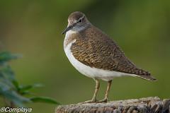 Andarríos chico, Common Sandpiper (Actitis hypoleucos) (Corriplaya) Tags: birds corriplaya aves andarríoschico commonsandpiper actitishypoleucos