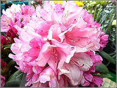 Rhododendron.. (** Janets Photos **) Tags: uk plants flora flowers rhododendron pink closeups