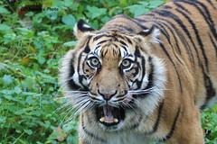 Sumatra Tiger (Noodles Photo) Tags: pantheratigrissumatrae sumatratiger tiger carnivora groskatze rheine naturzoo naturzoorheine cat canoneos7d säugetier raubtier