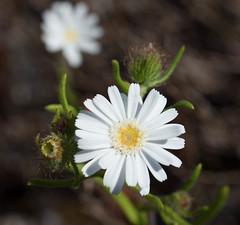 Asteridea  pulverulenta 2 (brundrett) Tags: everlasting daisy white spring annual
