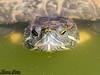 RotWange (thomaslieber) Tags: schildkröte turtle