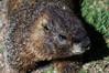 Marmot.jpg (tiggerpics2010) Tags: marmots rockies usa colorado continentaldivide